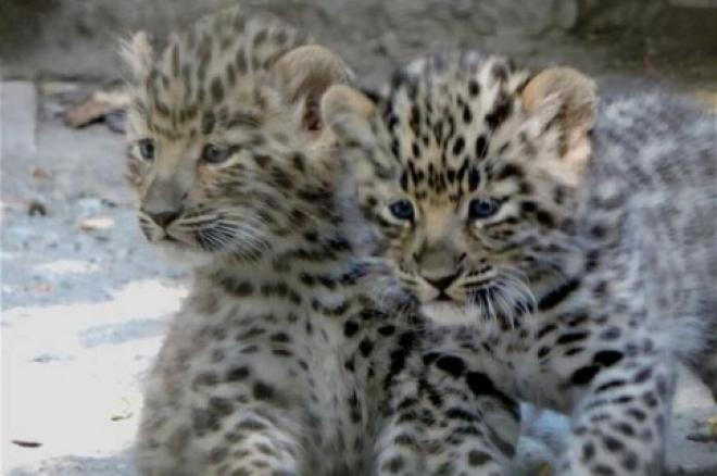 В зоопарке Самары родились детеныши леопарда