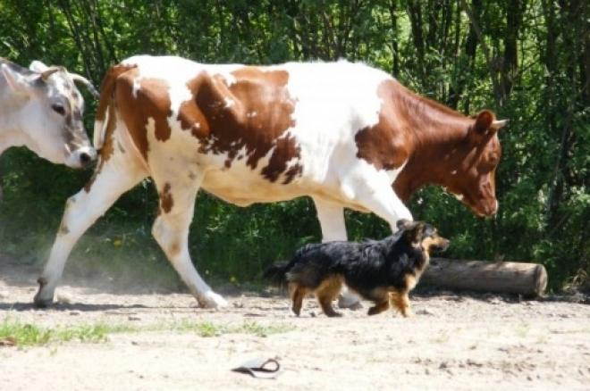 Жителям районов Самарской области увеличили субсидии на покупку коров