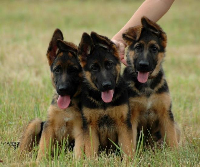 Цена: 1500 грн - продажа щенки немецкой овчарки
