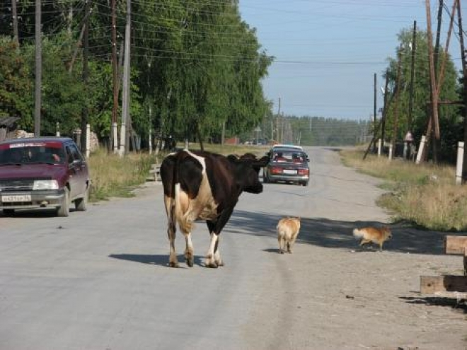В Самарской области юный скутерист врезался в корову