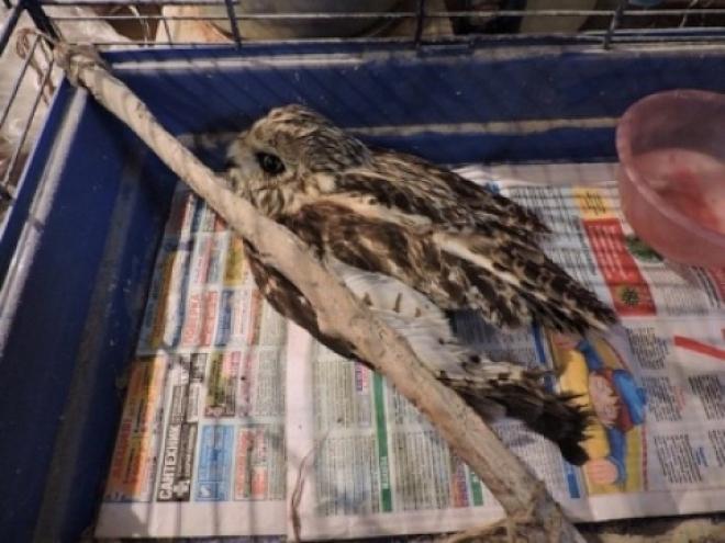 Жители Самары спасли от гибели болотную сову